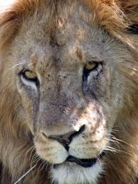 Lion in Kenya