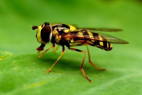 Macro Wasp by pf