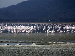 Nakuru Flamingos