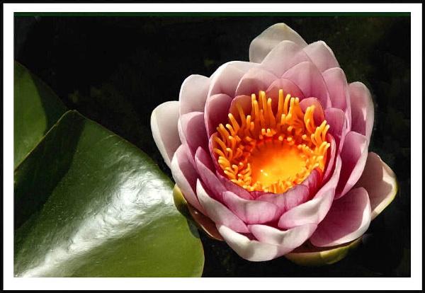Waterlilly by shawpaul