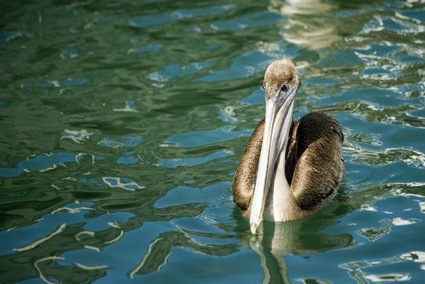 Floating Pelican by wheeldon