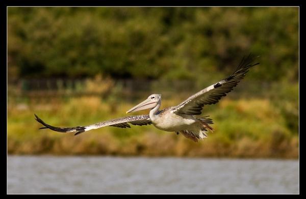 Pelican in Flight by AMS1
