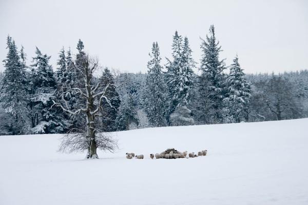 Snow Sheep by NeilJD