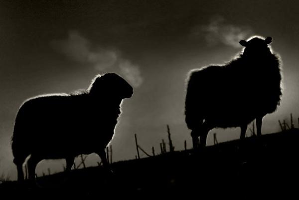 Black sheep by bobalot
