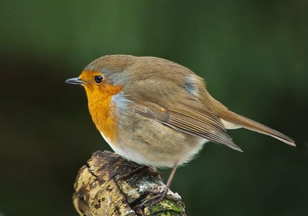 1/50th Robin by jonah794