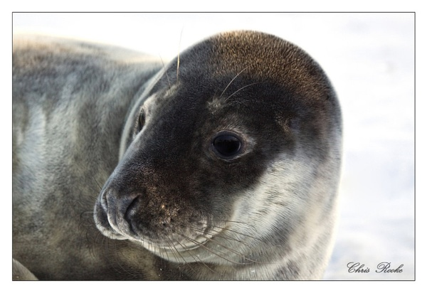 Young grey seal by csr