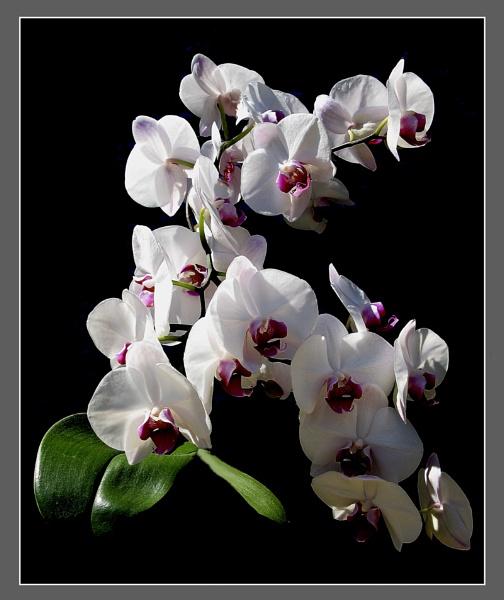 Orchid by derekv
