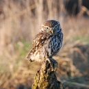 Willow the little owl(c) by littlejennywren