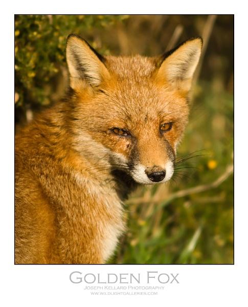 Golden Fox by WildLight