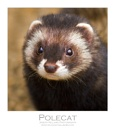 Polecat by WildLight
