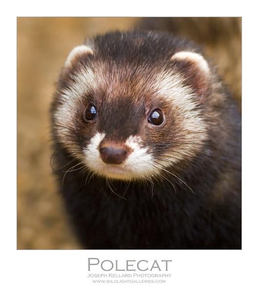 Polecat by WildLight