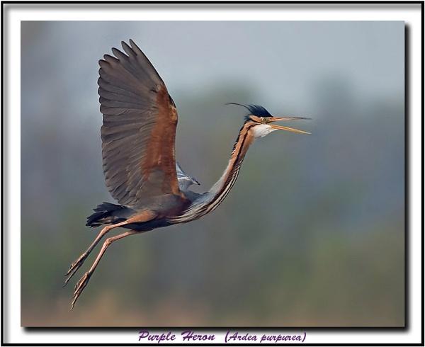 Purple Heron 2 by Bob_V