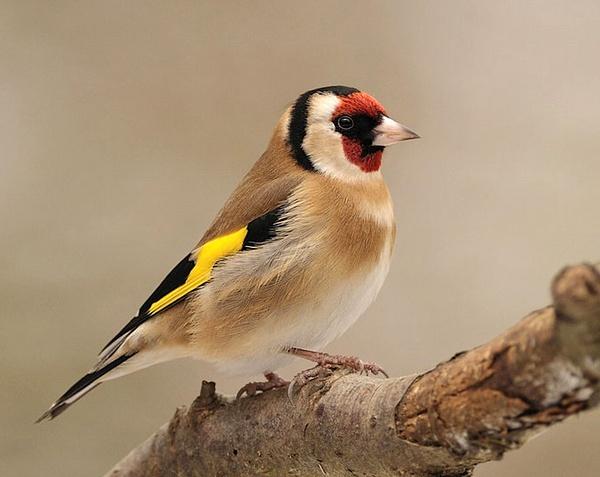 Goldfinch (Carduelis carduelis) by WindowonWildlife