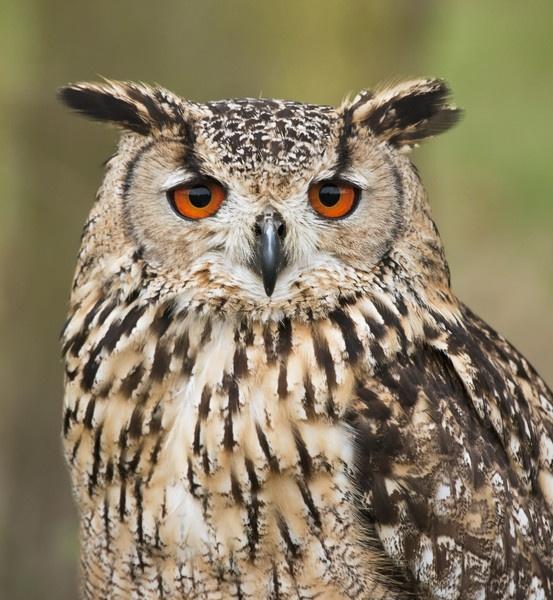European Eagle Owl by pmaccyd