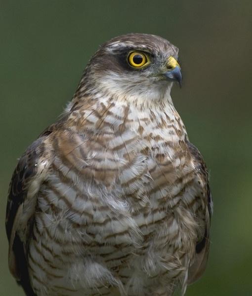 Sparrow hawk by pmaccyd