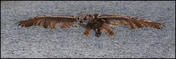 Owl Glide by Kruger01