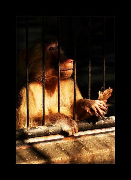 hamadryas baboon - behind bars! :( by roald