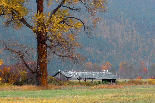 """Cottonwood And Hay Shed\"" by WinFred"