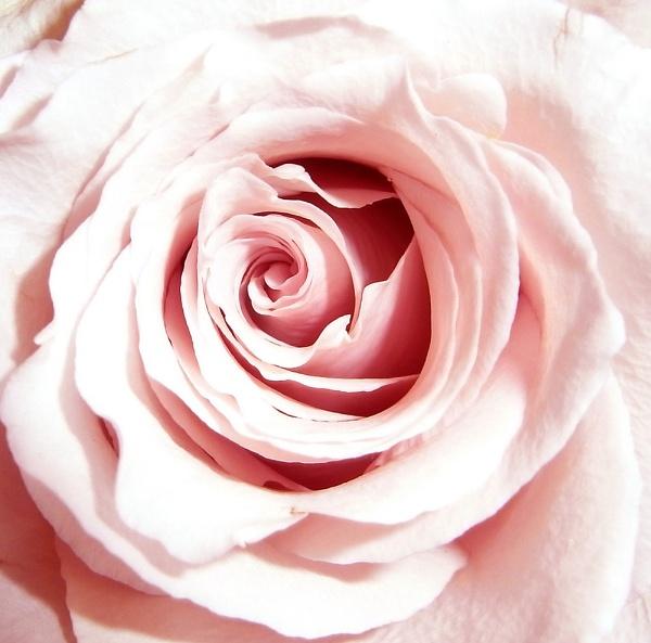 rose by bridget1234