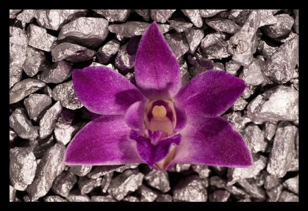 Scented orchid on silver rocks by JackAllTog