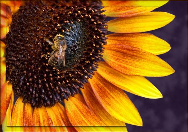 Sunflower by VonQ