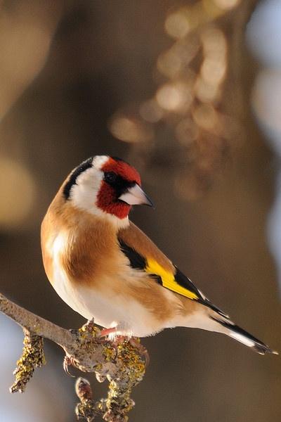 Golden Goldfinch by Grassi