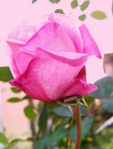 Pink Rose by dipsekhar