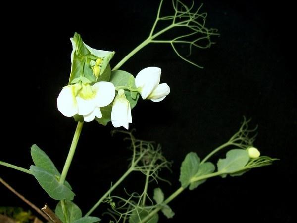Pea flower by dipsekhar