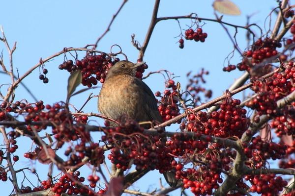 Bird in berries by Paratrooper