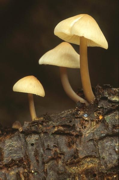 Three little Bellcaps. by Amanita05