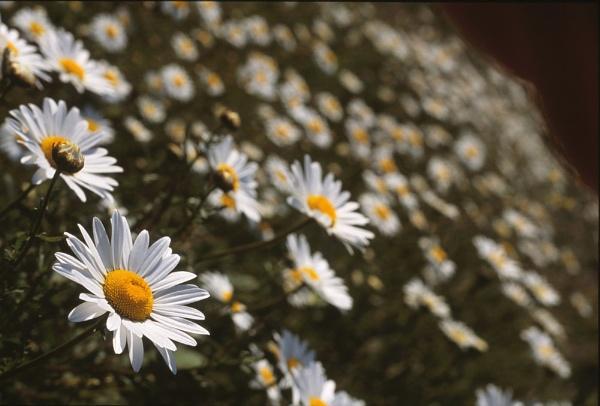 Oxeye Daisies by Amanita05
