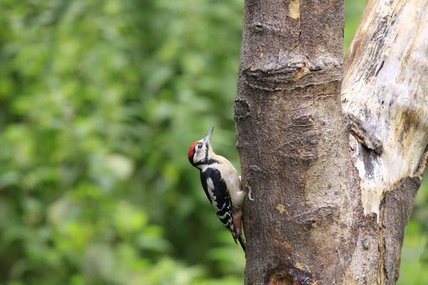 woodpecker by ianto