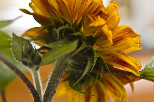 sunflower by Henshall