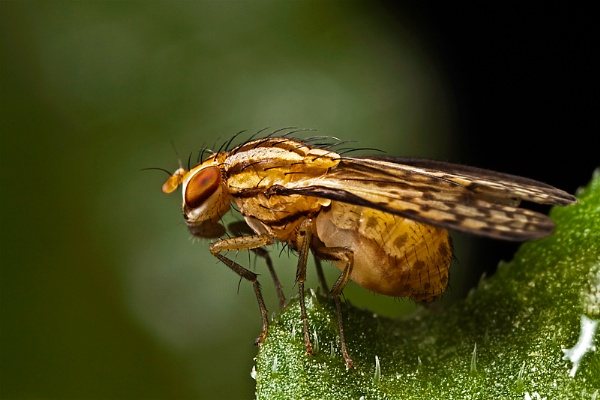 Picture Wing fly macro by zanzibarwinds