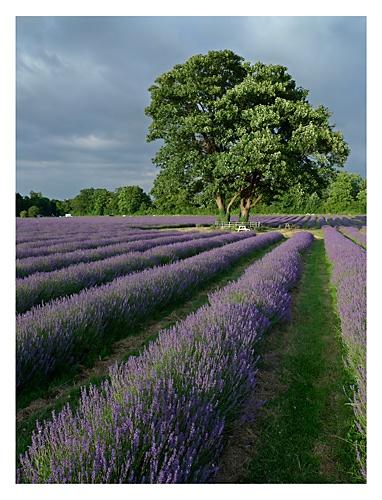 Mayfield Lavender by markmurton