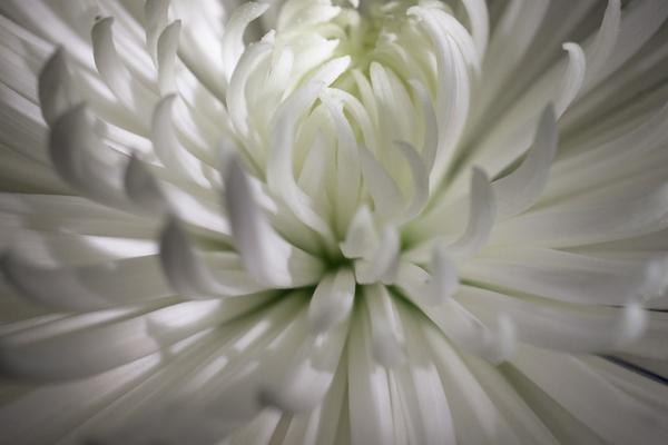 Chrysanthemum by Umberto_V