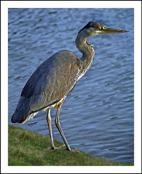 Heron by shawpaul