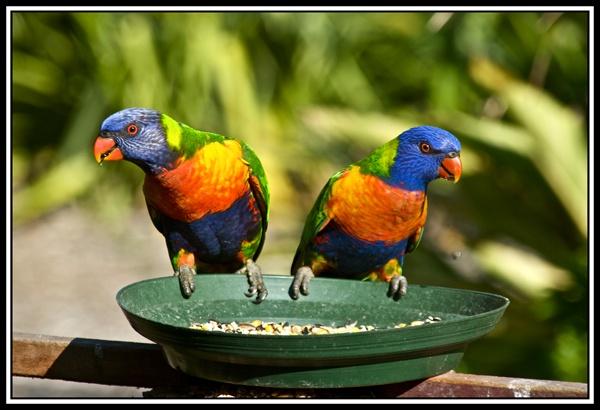 Rainbow Lorikeets by Stevebishop