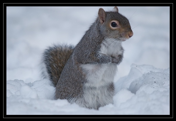 Squirrel In The Snow by GaryR