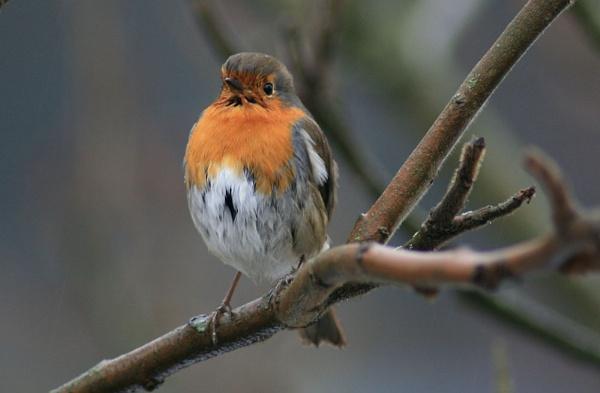 Juvenile Robin by MandsH