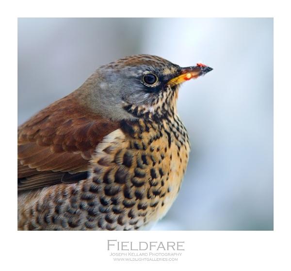 Fieldfare by WildLight