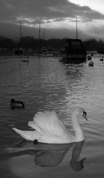 Swan at Dusk by Beckyphotos