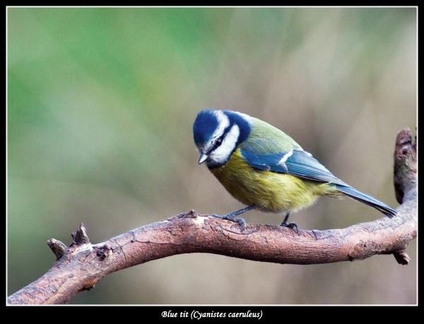 Blue Tit  (Parus caeruleus) by Ray42