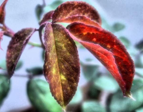 silky red by jairathore