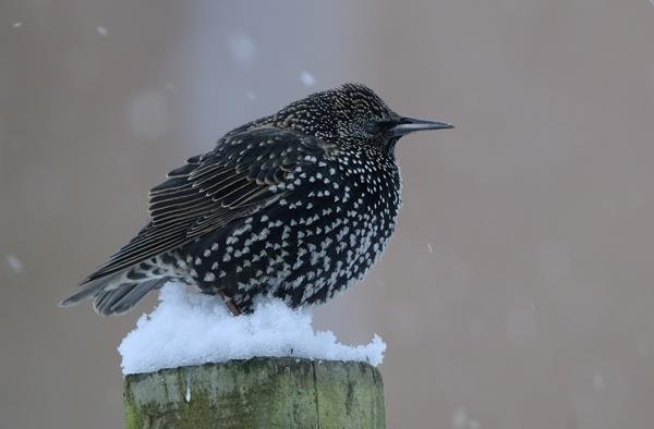 Starling waiting his turn by maroondah
