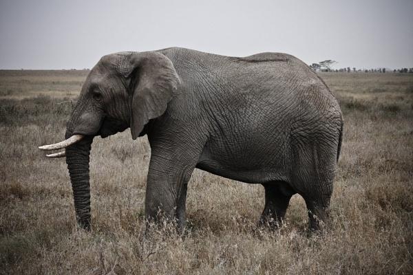 Serengeti Elephants 2 by cmf