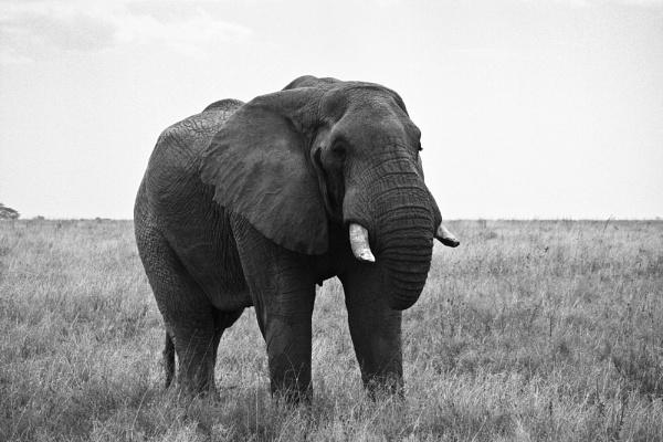 Serengeti Elephants 3 by cmf