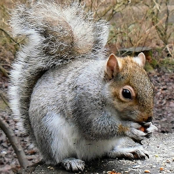 Grey Squirrel by bootlaces