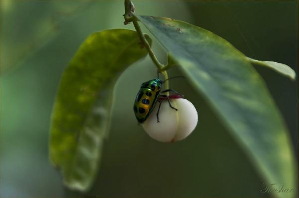 Alexander Beetle by Thushari