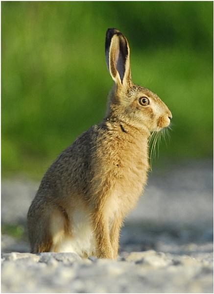 Hare Raising by iansnowdon
